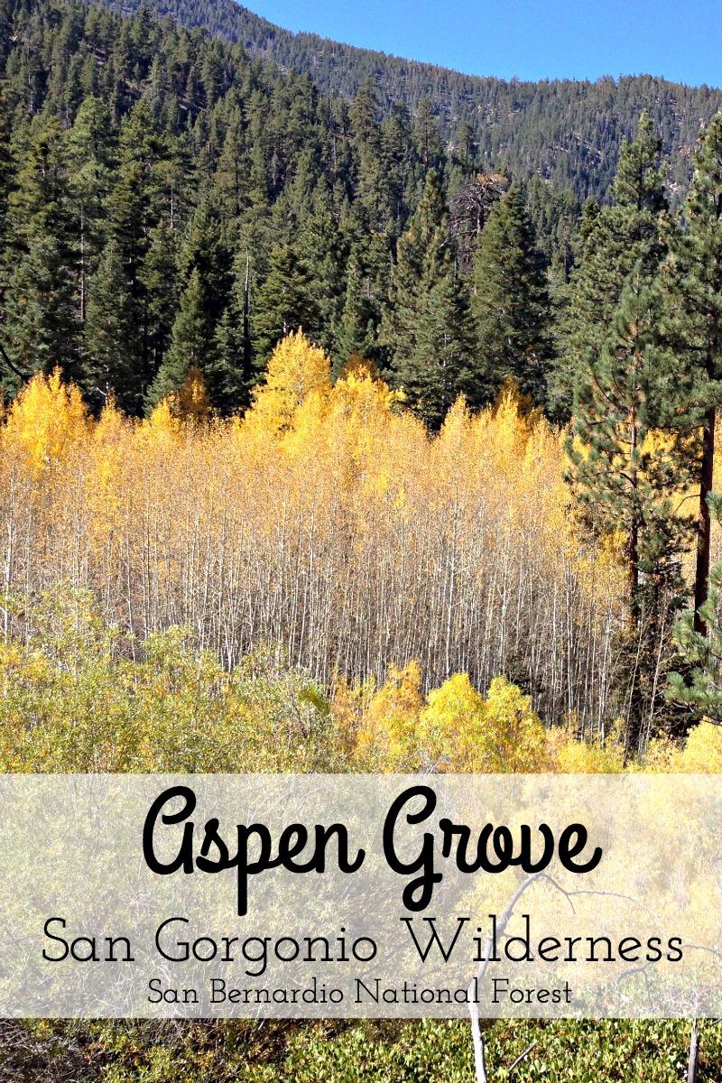 Aspen Grove in San Gorgonio Wilderness - Campfire Chic